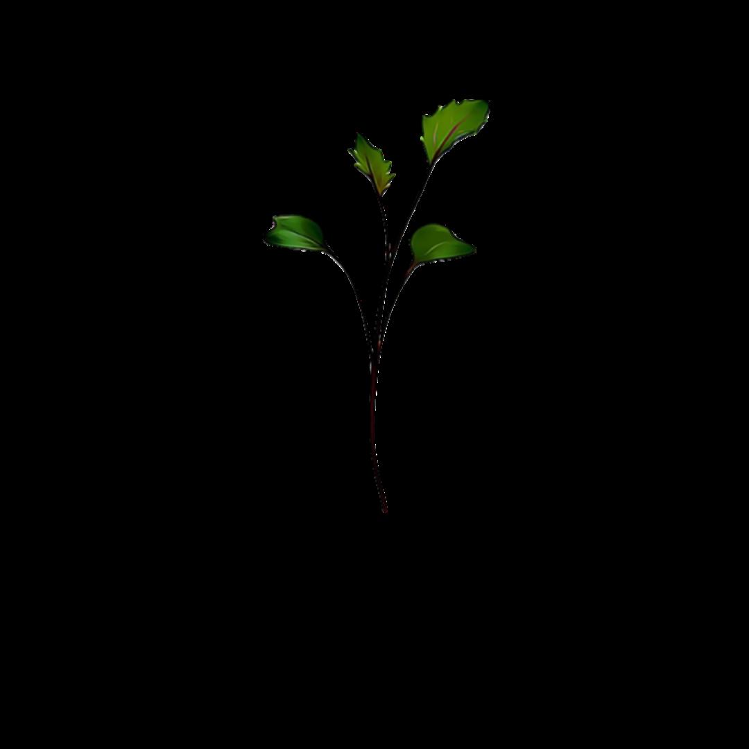 Micro Greens Khol Rabi