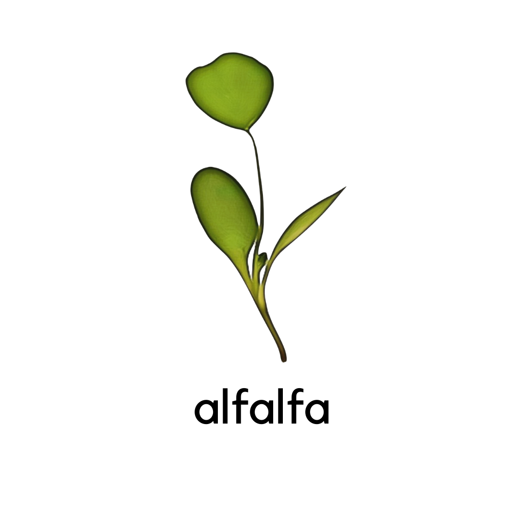 Micro Greens Alfalfa