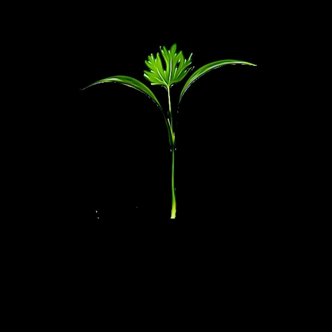Micro Greens Coriander