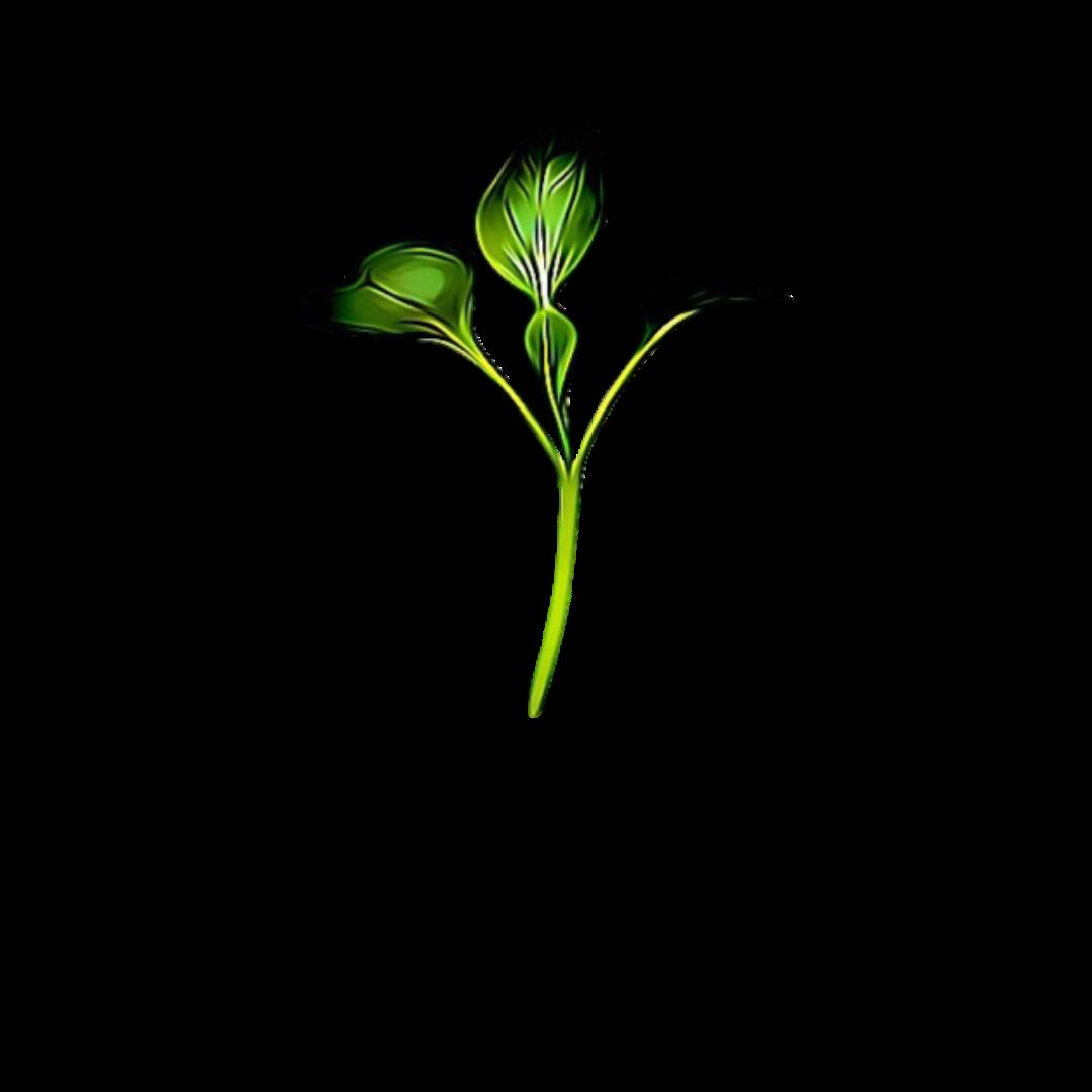 Micro Greens Pak Choi