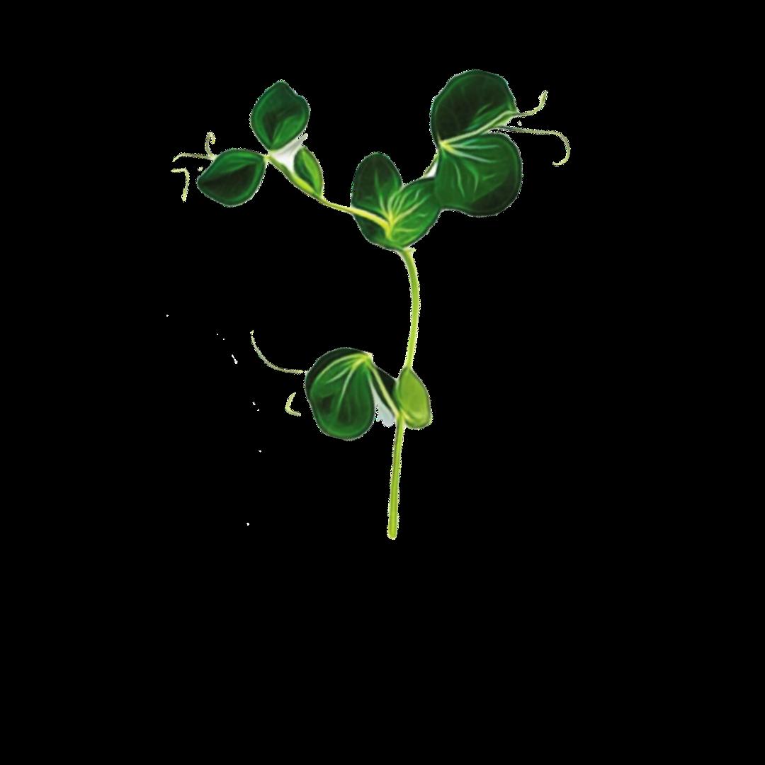 Micro Greens Pea