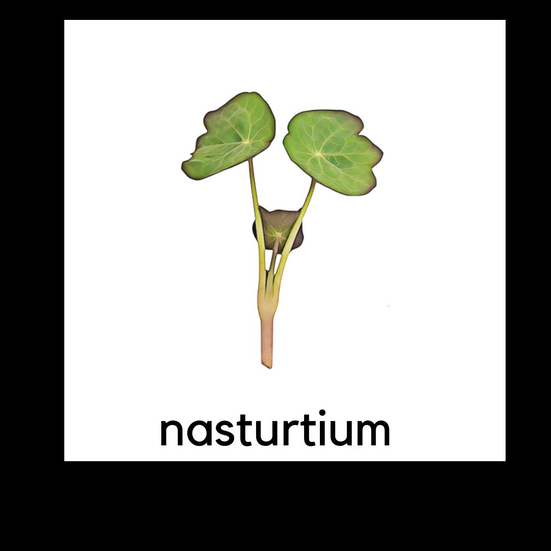 Micro Greens Nasturtium