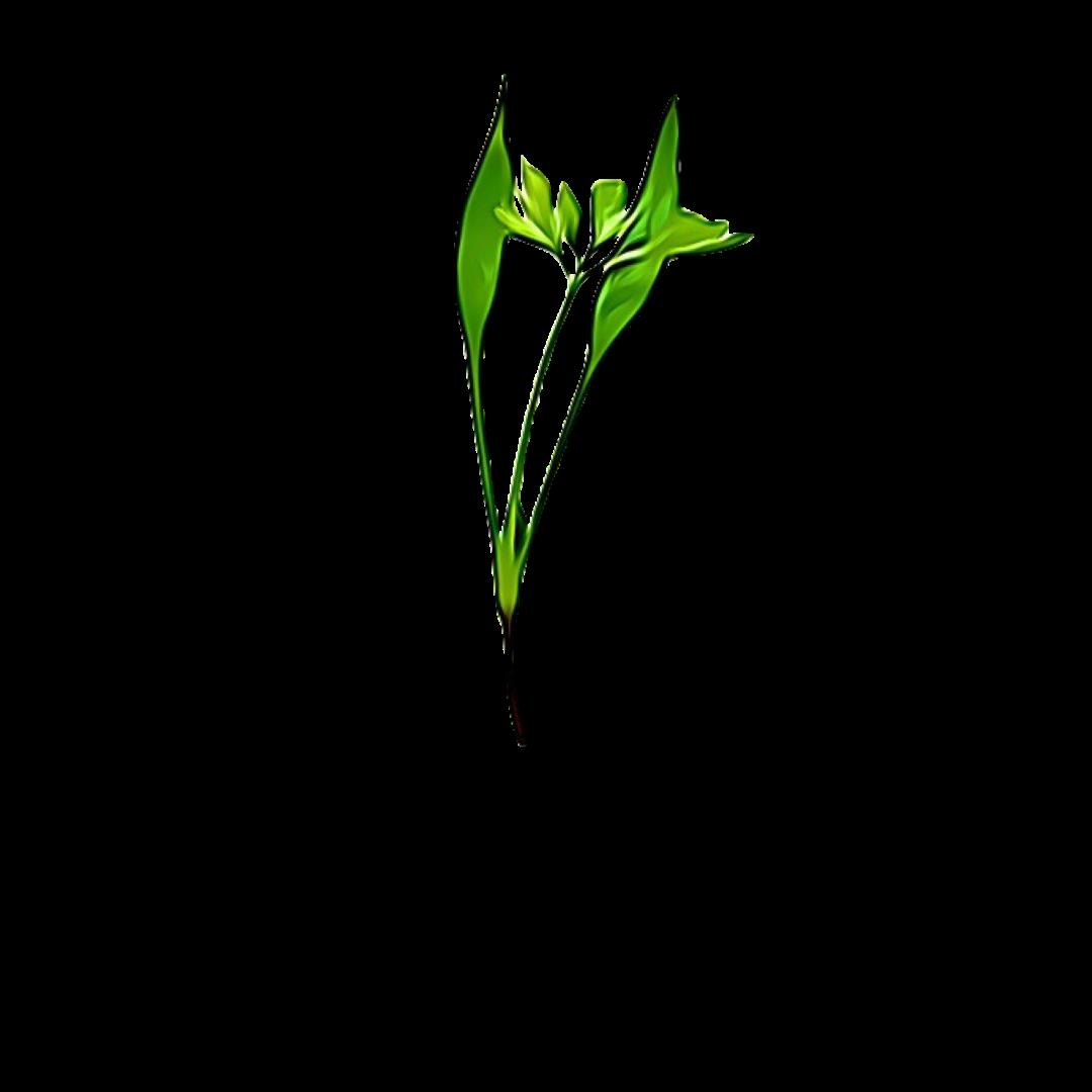 Micro Greens Chervil