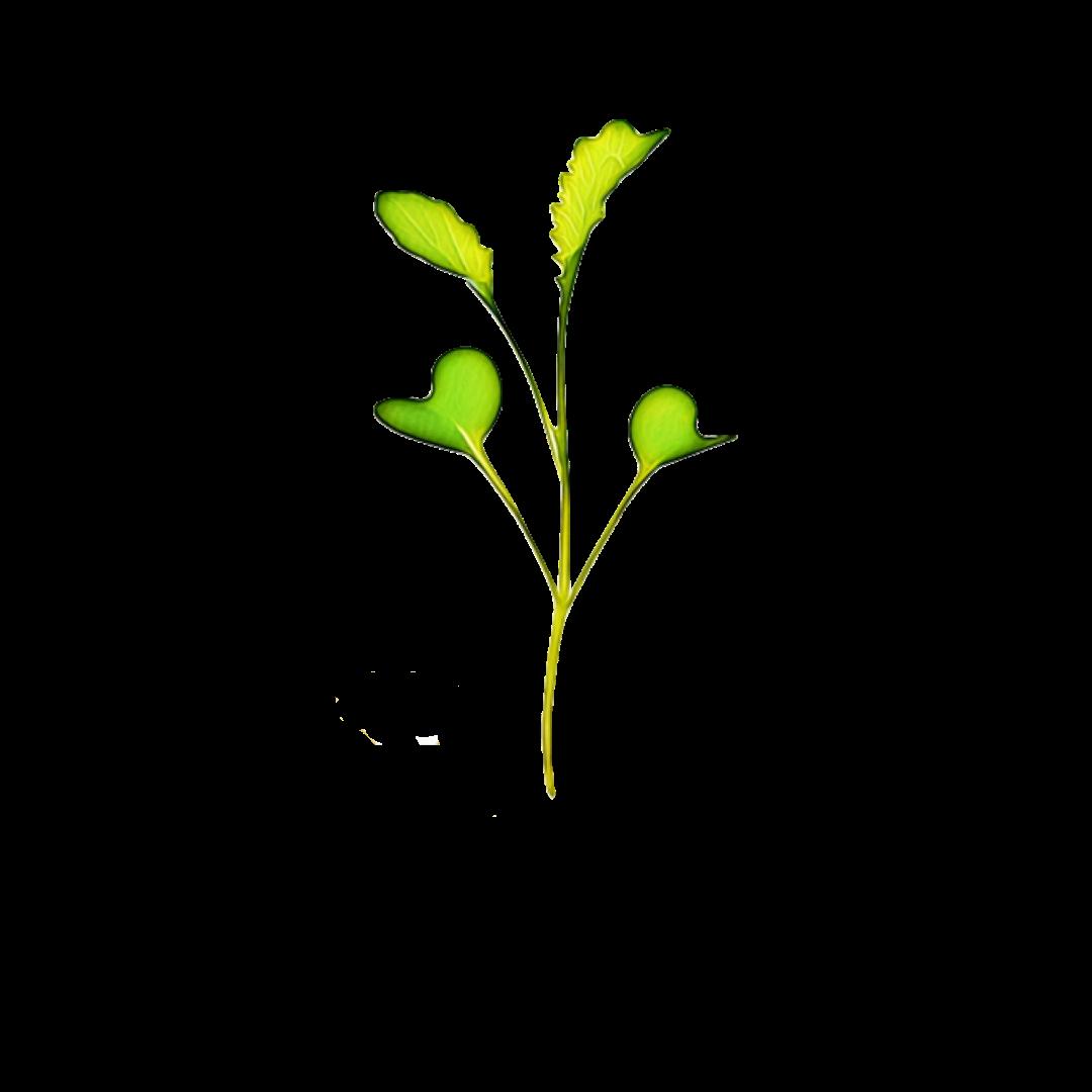 Micro Greens Wasabi