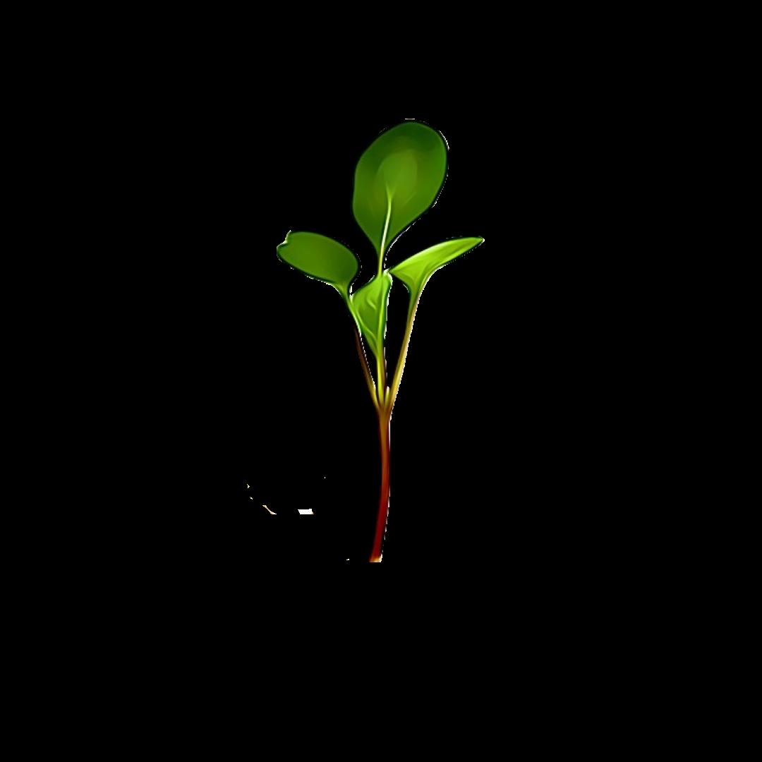 Micro Greens Komatsuna