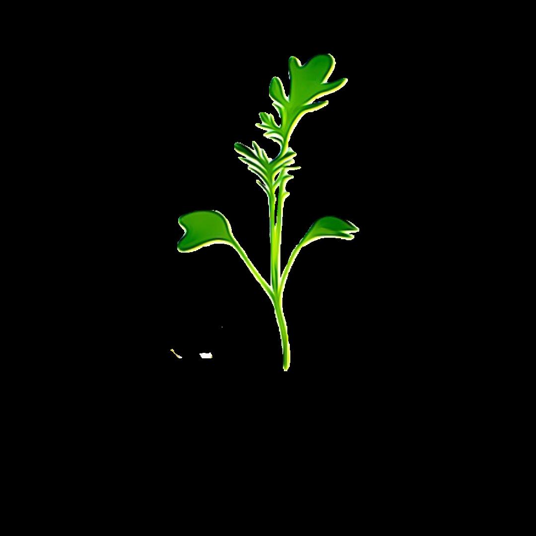 Micro Greens Rocket