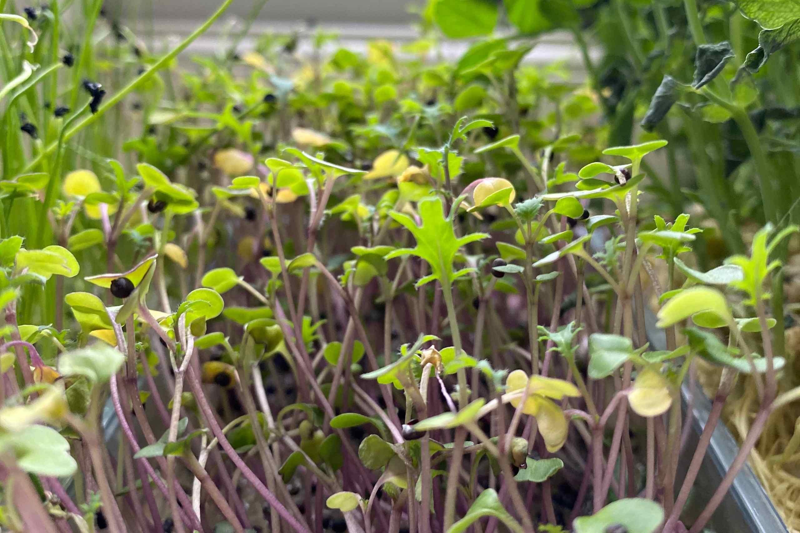 Living Microgreens