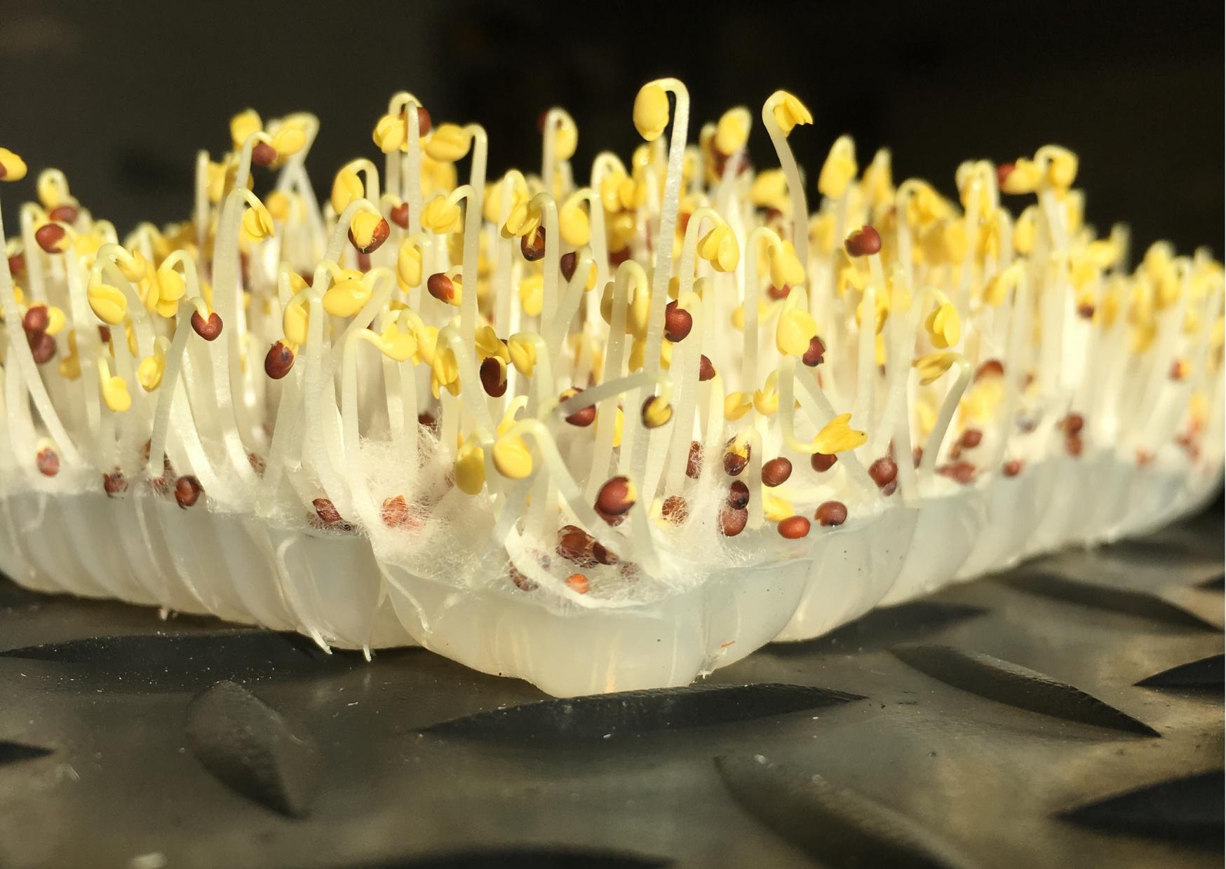 Microgreens grown in seaweed Jelly